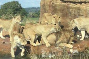 Clip: Sư tử đầu đàn gục ngã trước nanh vuốt của cả bầy sư tử cái