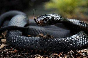Những loài rắn có nọc độc cực mạnh nhất hành tinh