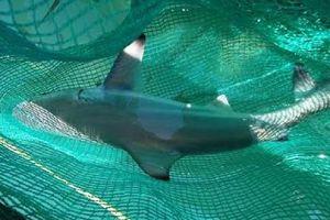 Bảo vệ cá mập khỏi những hậu quả việc đánh bắt cá