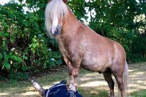 Clip: 2 chú ngựa biết hô hấp nhân tạo cứu người