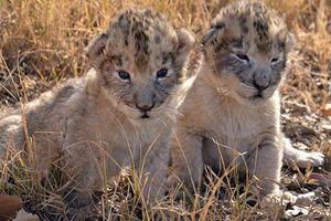 2 con sư tử đầu tiên trên thế giới sinh ra trong ống nghiệm