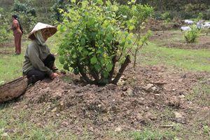 Huyện Như Xuân cải tạo được 107 ha vườn tạp