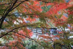 Mùa này đến Nhật Bản nhất định phải tới 'thiên đường mùa thu' ngắm lá chuyển màu