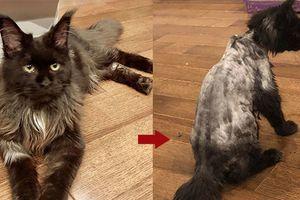 Trấn Thành dở khóc dở cười khi Hari Won cạo sạch lông con mèo trị giá 3000 USD