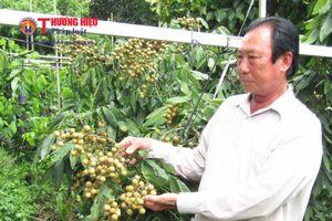 Vĩnh Long: Nhãn 'Hồng phúc' xuất hiện ở Hòa Ninh