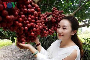 Cùng ngắm những chùm dâu da rừng chín đỏ ở Gia Lai