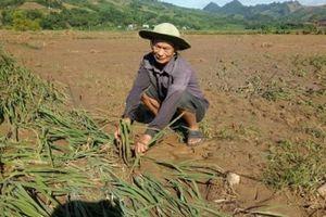 Sơn La: Quặn đau, sau lũ cánh đồng xanh chỉ toàn bùn và cát