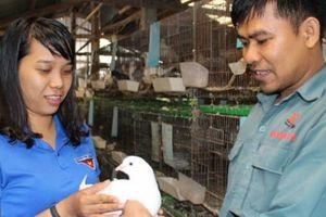 8X nuôi loài chim hiền như cục đất, mỗi tháng lãi ròng 6 triệu đồng