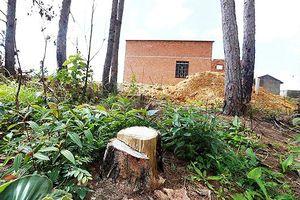 Nhà trái phép 'mọc' trên những rừng thông cổ thụ vừa bị cưa hạ