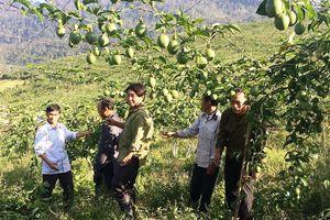 Chanh leo- 'cây thoát nghèo' ở miền Tây xứ Nghệ