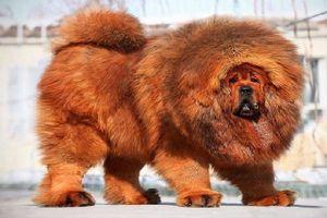 Khám phá hai giống chó đắt nhất thế giới