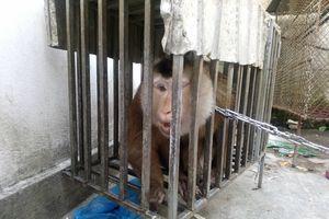 Gom tiền giải cứu khỉ đuôi lợn quý hiếm giao cho kiểm lâm