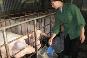 Giá heo hơi hôm nay 10/9: 3 miền tăng đồng loạt, ngành chăn nuôi trên đà trở lại hoàng kim?