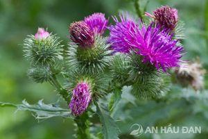 Bạn đã từng được ngắm vẻ đẹp của hoa cúc lục lăng?