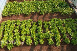 Thích mê ngắm vườn rau đánh luống trên sân thượng giữa đất Hà thành