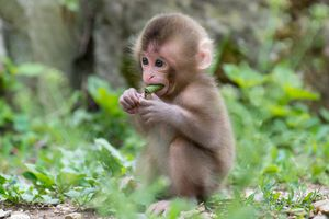 Huế: Giải cứu khỉ đuôi lợn quý hiếm nặng 7kg bị rao bán trên mạng