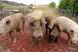 Nhật Bản ngừng xuất khẩu thịt lợn sau khi dịch tả lợn bùng phát