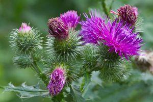 Cúc lục lăng: Hành trình từ cây hoa thành vị thuốc