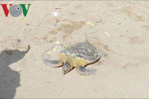 Thả rùa biển nặng gần 9 kg về đại dương