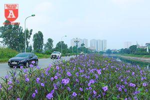 Đẹp ngỡ ngàng với con đường hoa tím bên dòng sông Tô Lịch