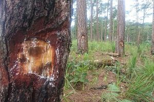 Rừng thông Lâm Đồng lại bị 'bức tử' bằng hóa chất