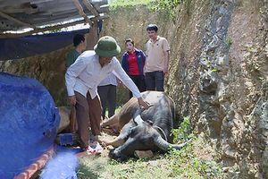 Nghệ An: Dính tụ huyết trùng, trâu bò chết hàng loạt