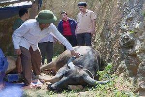 Nghệ An: Ổ bệnh bùng phát, hơn 40 con trâu, bò chết