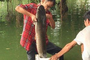 Clip: Ngang nhiên câu trộm cá trê khủng hàng chục kg ở Hồ Gươm