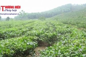Hà Giang hiện có trên 1.720 ha chè hữu cơ