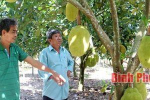 Trồng mít Thái lá bàng trong vườn cao su, thu hàng trăm triệu đồng