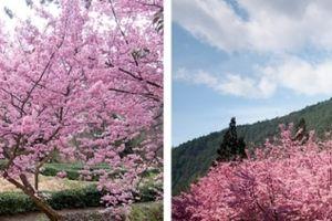6 điểm ngắm hoa anh đào khi du lịch Đài Loan
