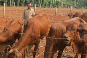 Trồng cỏ nuôi đàn bò lo gì nghèo mãi