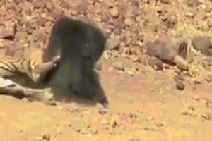 Kịch chiến giữa hổ và gấu, kết thúc đầy bất ngờ