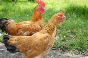 Khám phá về gà Tàu vàng bản địa của nước ta
