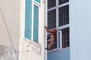Xác minh nguồn gốc 2 con khỉ quậy phá ở quận trung tâm Hà Nội