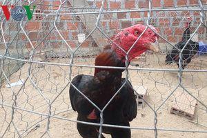 'Đột nhập' trường gà phi pháp lớn nhất Tây Nguyên