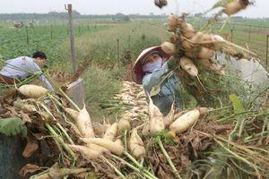 Hơn 2.500 tấn củ cải ở Hà Nội bị nhổ bỏ vì không thể tiêu thụ