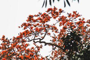Tháng 3 về, miên man ngắm hoa gạo nở đỏ rực như ngàn ngọn nến thắp sáng một góc trời