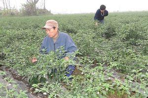 Trồng ớt xuất khẩu sang Hàn Quốc, Nhật Bản, thu tiền tỷ