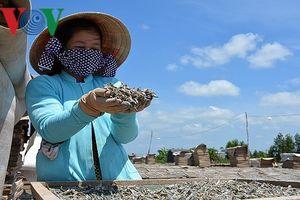 Quy trình đưa cá cơm xuất ngoại của người dân Đất Mũi
