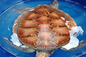 Rùa biển nặng 8 kg trong sách đỏ mắc vào ngư cụ