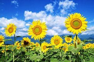 Bài thuốc quý chữa mọi bệnh tật từ hoa hướng dương