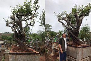Gốc hoa hồng 200 tuổi được trả 1 tỷ, đại gia Lào Cai vẫn không bán