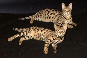 10 giống mèo có giá đắt 'cắt cổ', chỉ đại gia mới dám nuôi