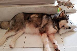 Chú chó thông minh cứu chủ thoát chết trong đám cháy tại Sài Gòn