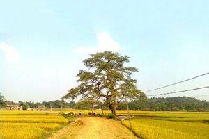 Ly kỳ chuyện cây gạo cổ 'ma ám' ở Phú Thọ