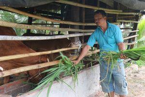 Trồng cỏ nuôi bò, mô hinh hiệu quả ở Loan Mỹ