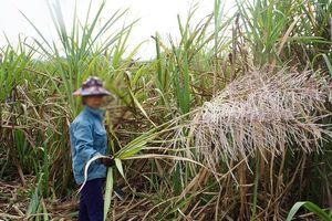 Nghệ An: Dân lo 'sốt vó' vì mía đến kỳ thu hoạch nhưng nhà máy vẫn chưa thu mua