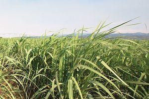 Cơ hội nào cho ngành mía đường Việt Nam?