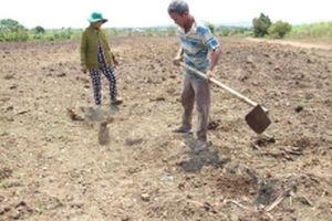 Giải pháp nào cho người trồng mía ở Ninh Thuận